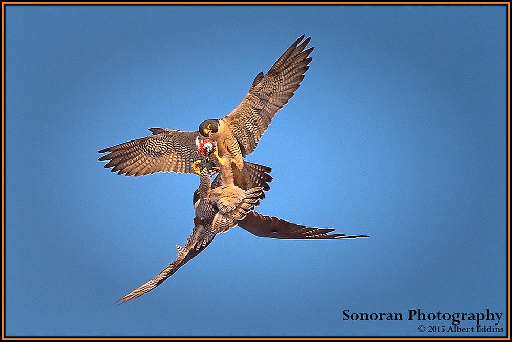 Peregrine Falcons Making Aerial Prey Transfer - California
