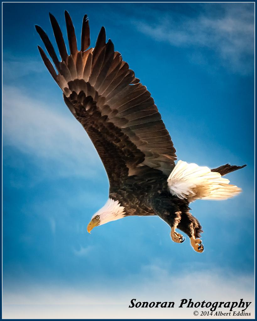 Bald Eagle on Hunt - Klamath Falls, Oregon