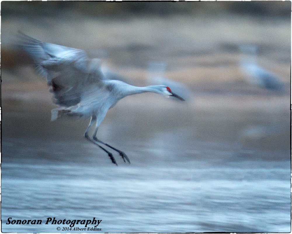 Sandhill Crane Landing in Motion - New Mexico