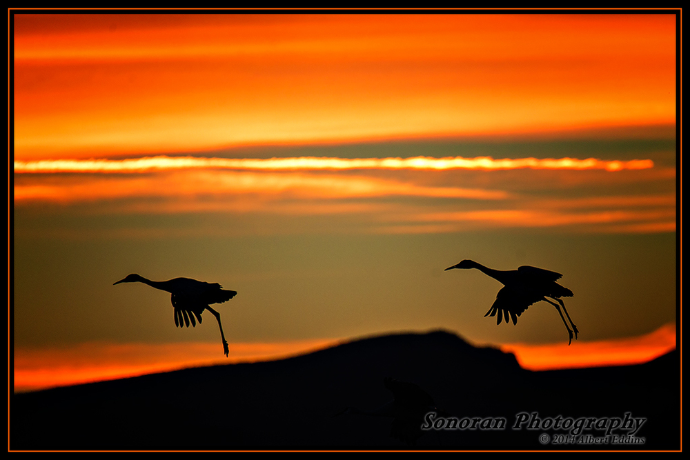 Sandhill Cranes Landing at Sunset - New Mexico