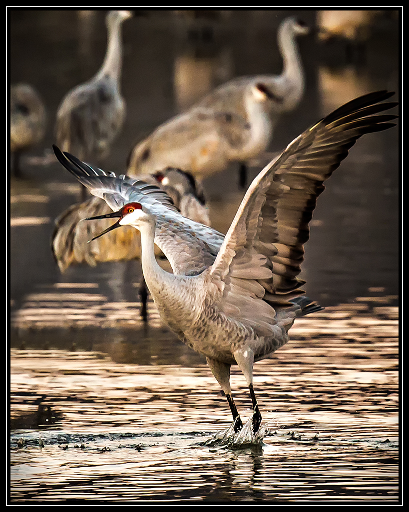 Sandhill Crane Showing His Stuff - New Mexico