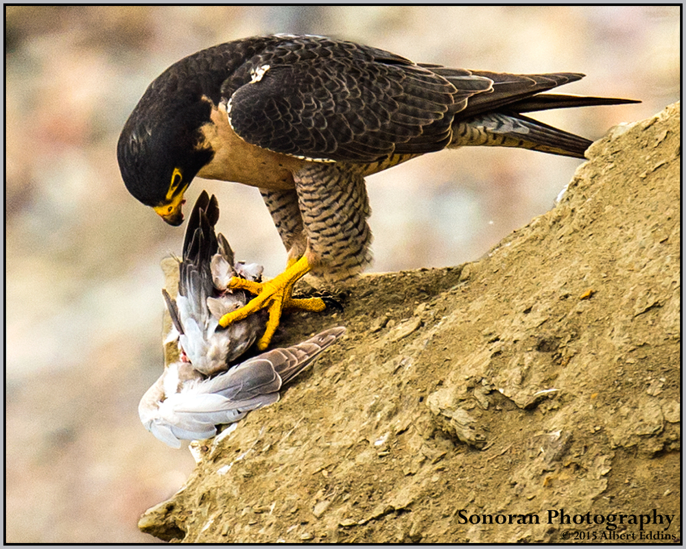 Peregrine Falcon having lunch on a Ledge - California
