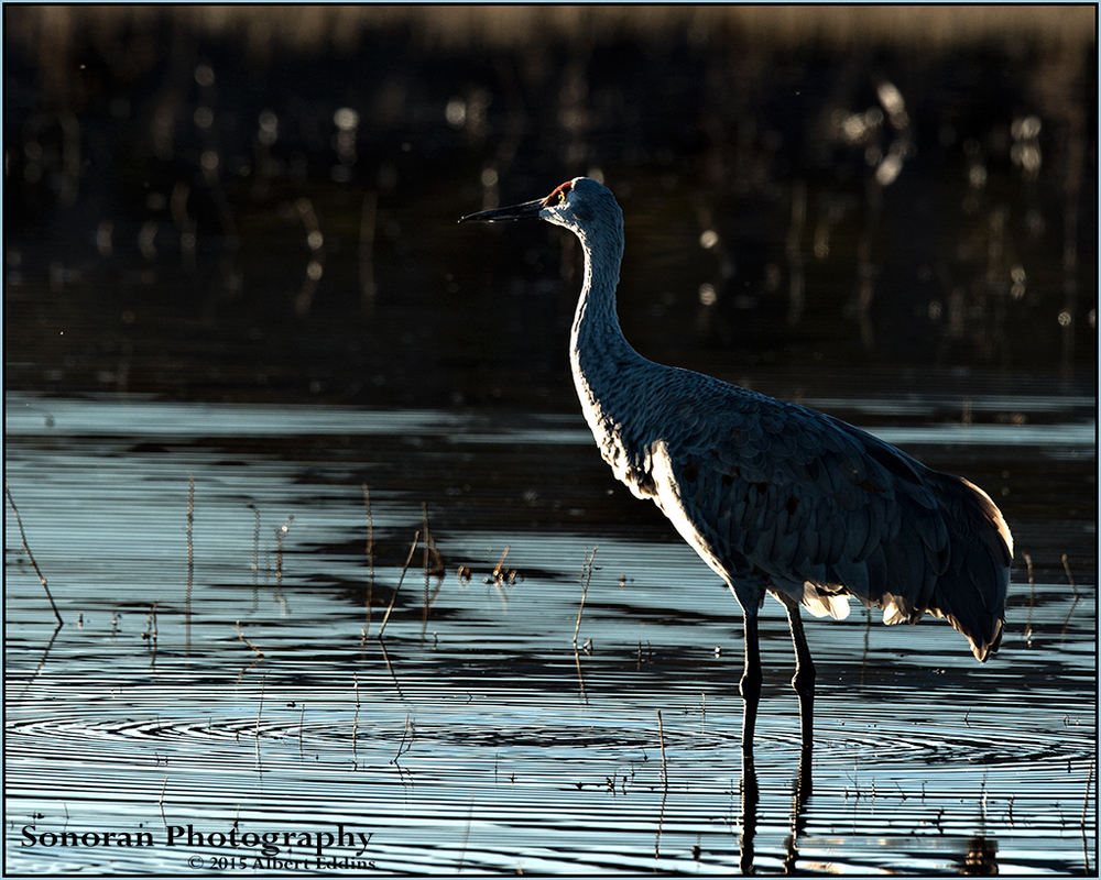 Early Morning Light - Sandhill Crane - Bosque del Apache, New Mexico