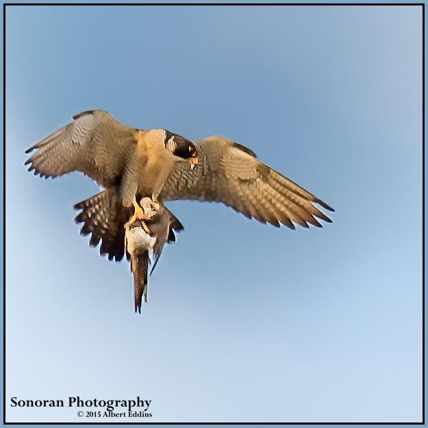 Peregrine Falcon with Prey - California Coast