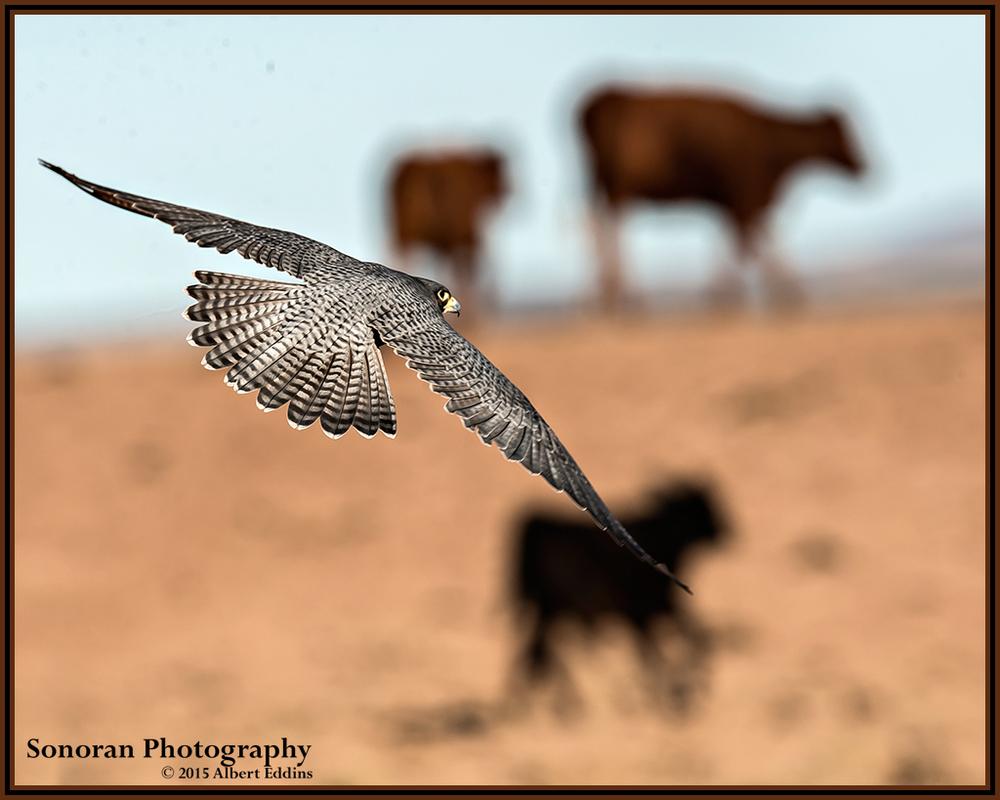 Peregrine Falcon Playing Cowboy - New Mexico