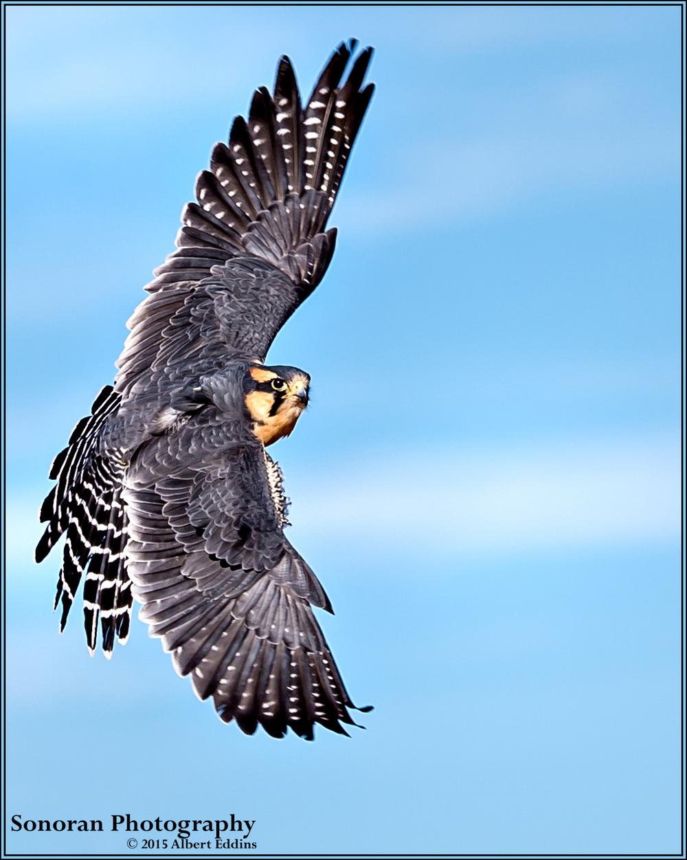 Aplomado Falcon on the Wing - New Mexico