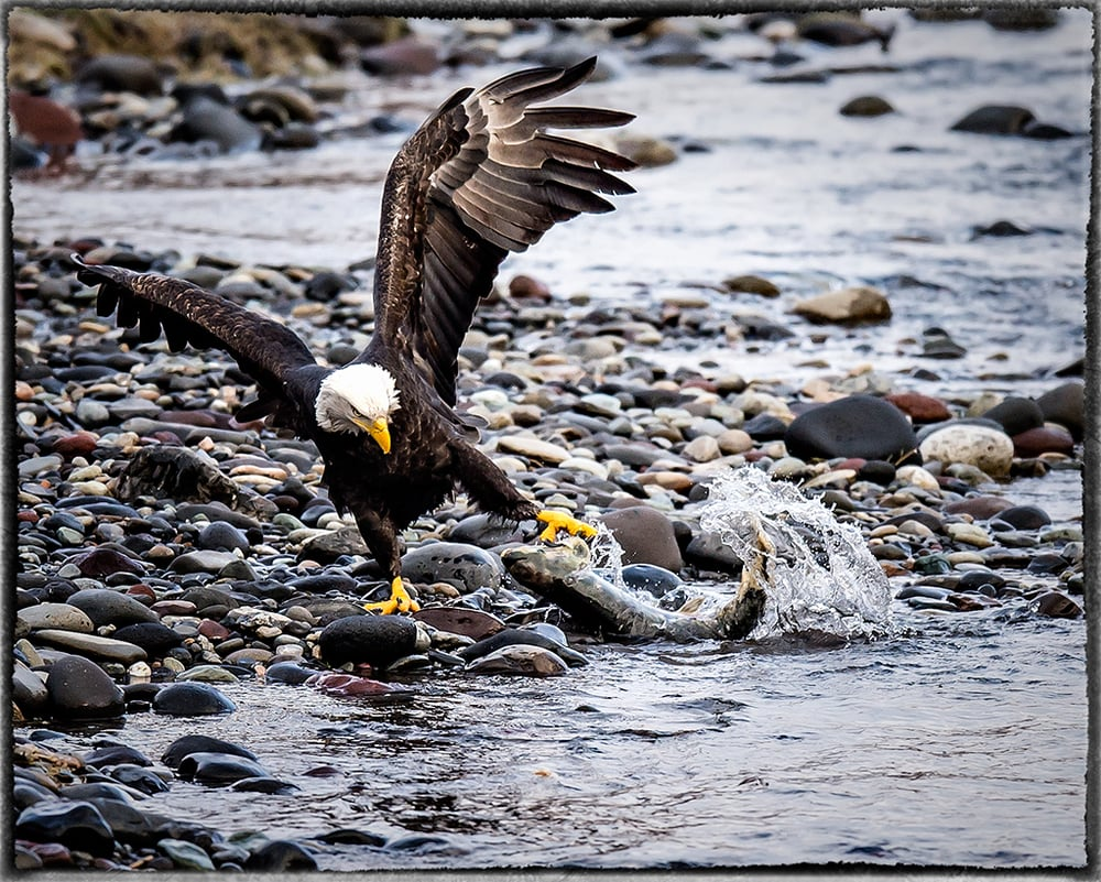 A Real Fisherman - Nooksack River, Washington