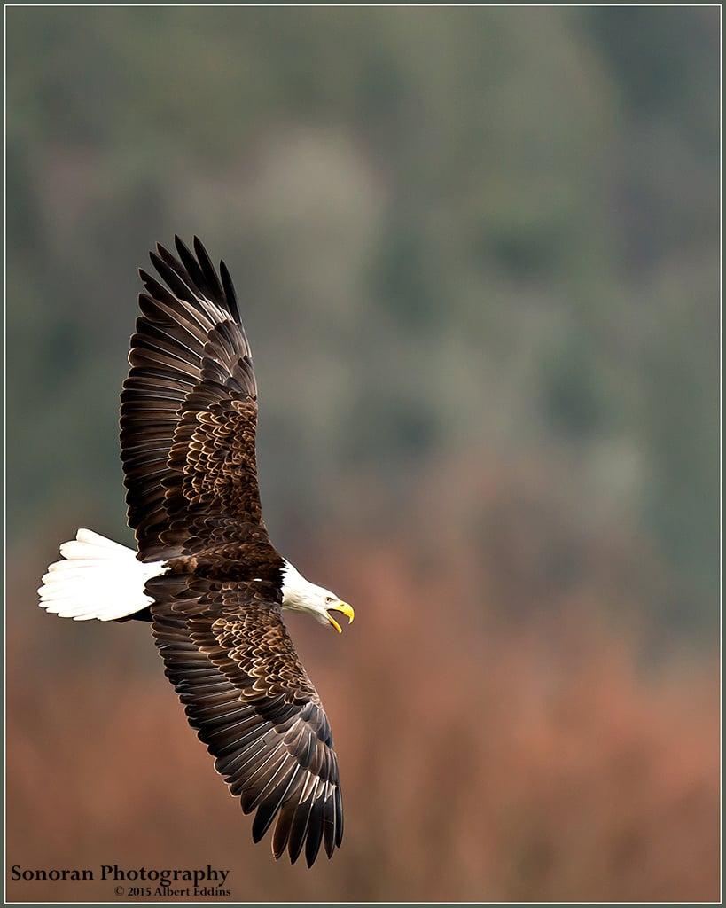 Soaring Bald Eagle - Washington