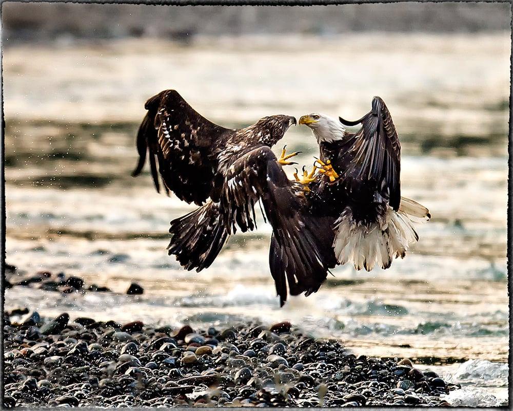 Adult and Juvenile Eagles - Its not a Kiss - Washington