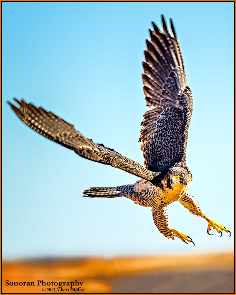 Peregrine Falcon the Ultimate Hunter - New Mexico