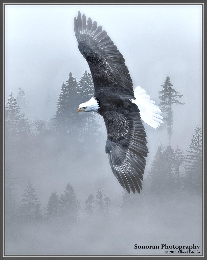 Bald Eagle Hunting in the Fog - Skagit River, Washington