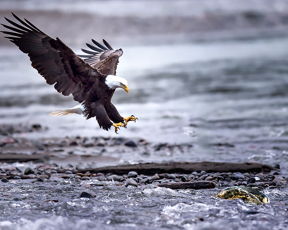 Bald Eagle Fishing - Nooksack River, Washington