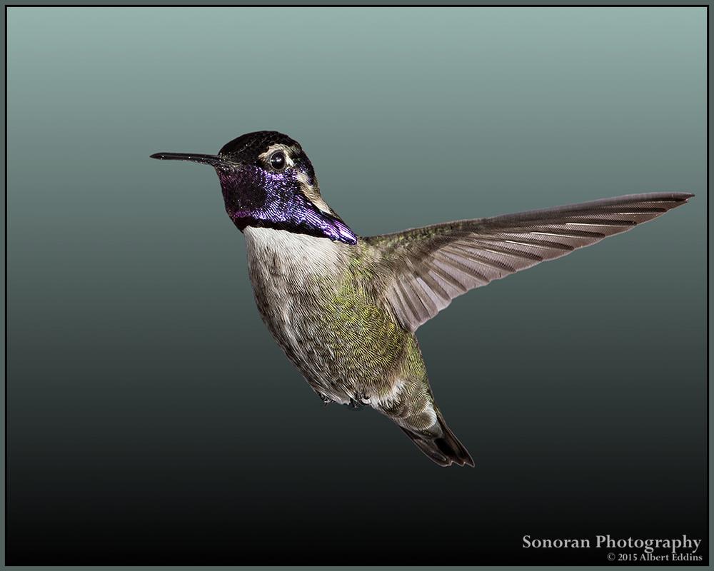 Portrait of A Hummingbird - Arizona