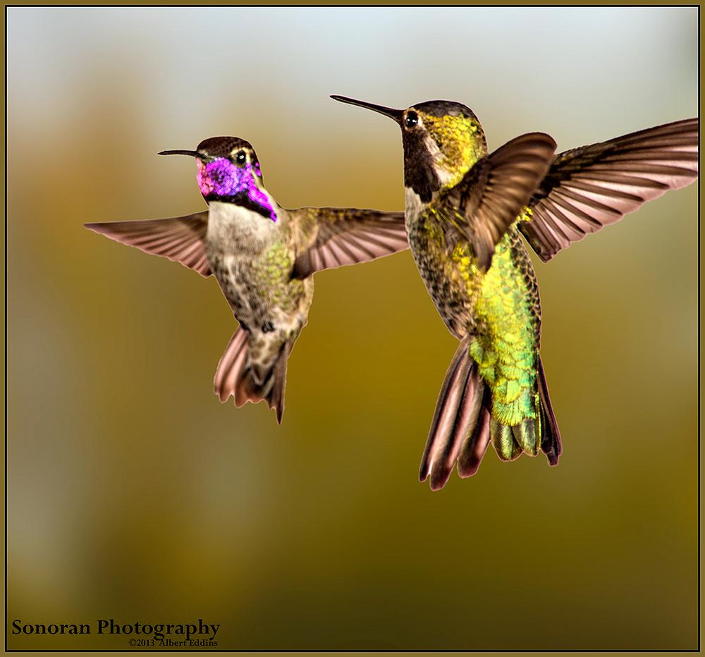 Hummingbirds now Lovebirds - Arizona