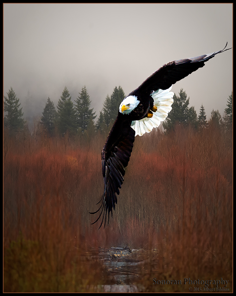 Bald Eagle Landing in Wetlands - Washington