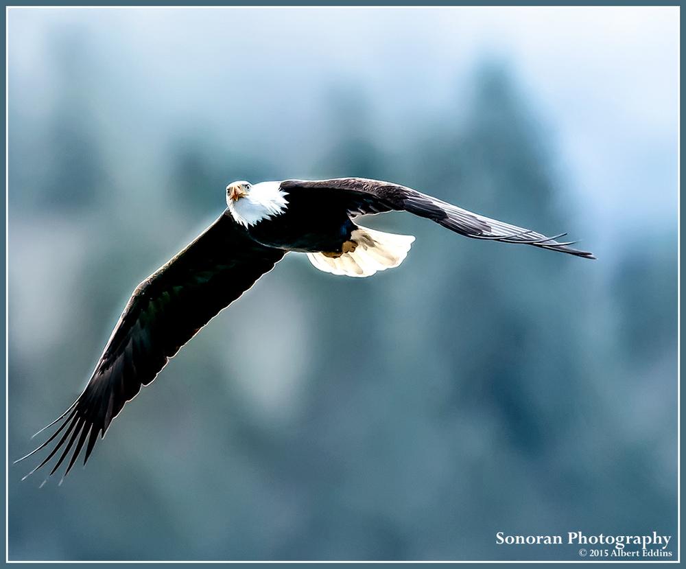 Bald Eagle Searching - Nooksack River, Washington