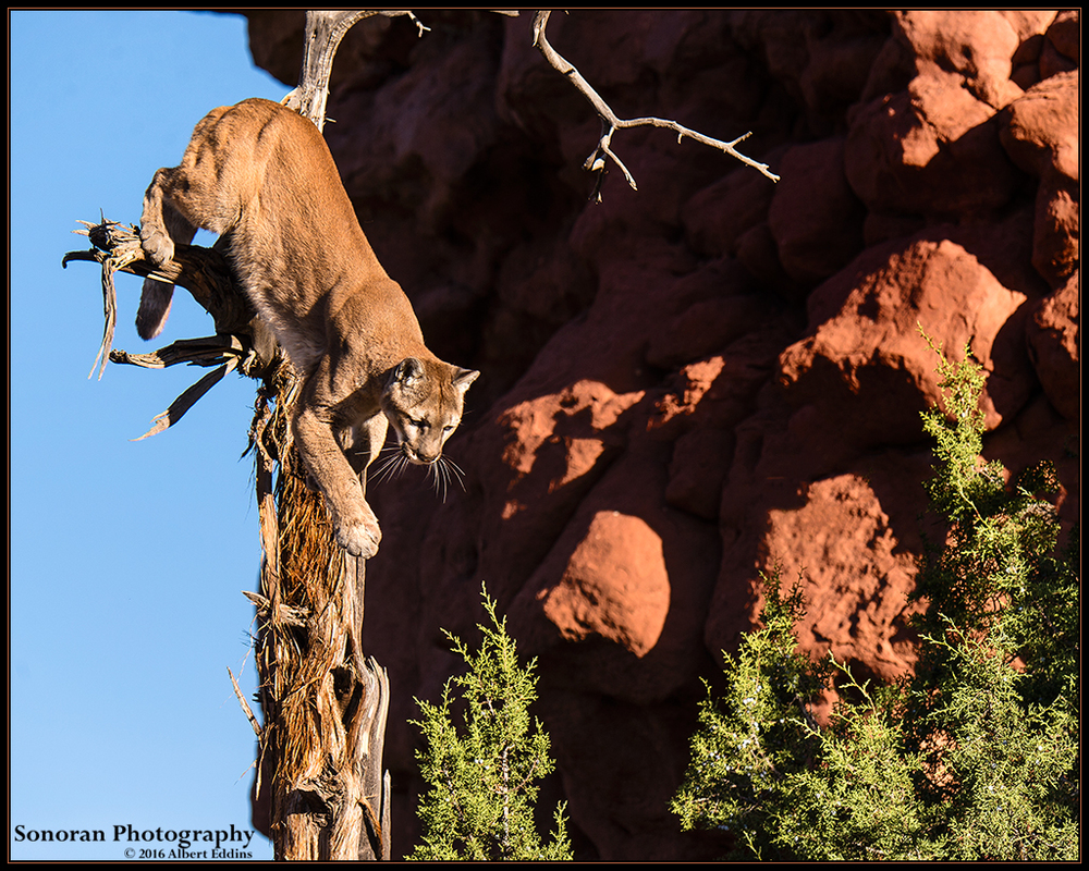Mountain Lion Treed - Colorado
