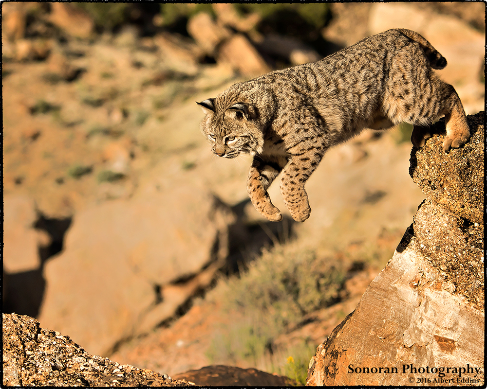 Bobcat - Colorado