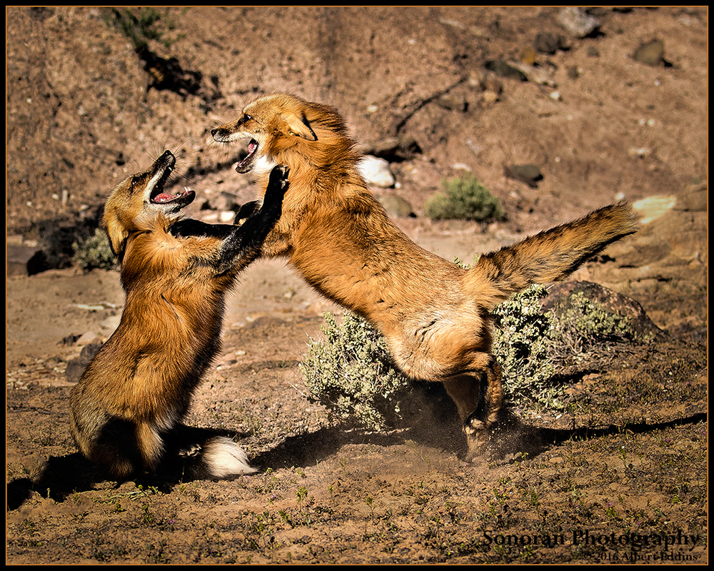 Red Fox Fight - Colorado