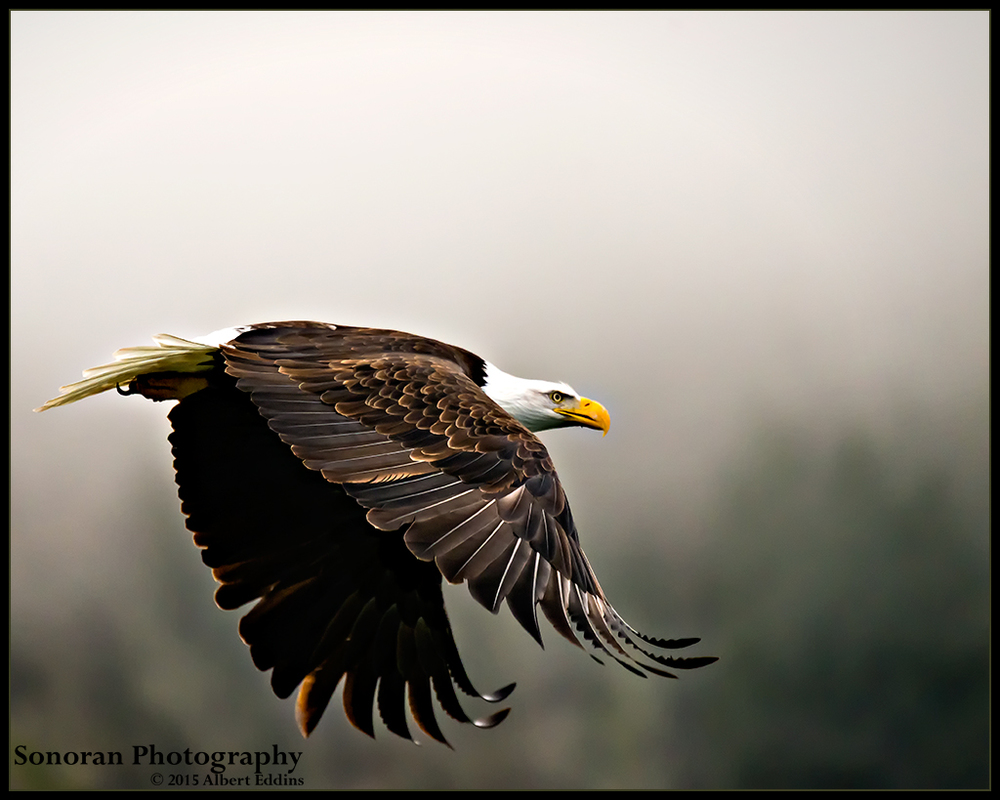 Bald Eagle On Nooksack River - Washington