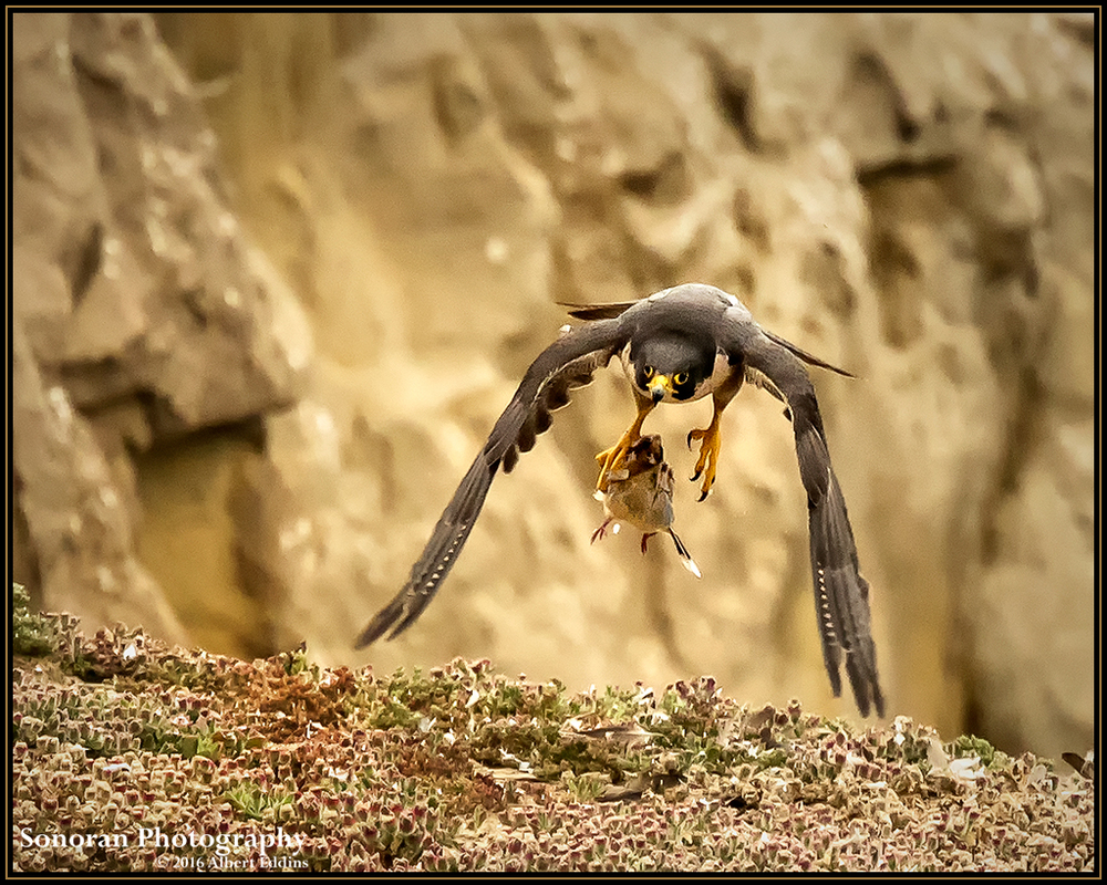 Peregrine Falcon - A Bird of Prey - California