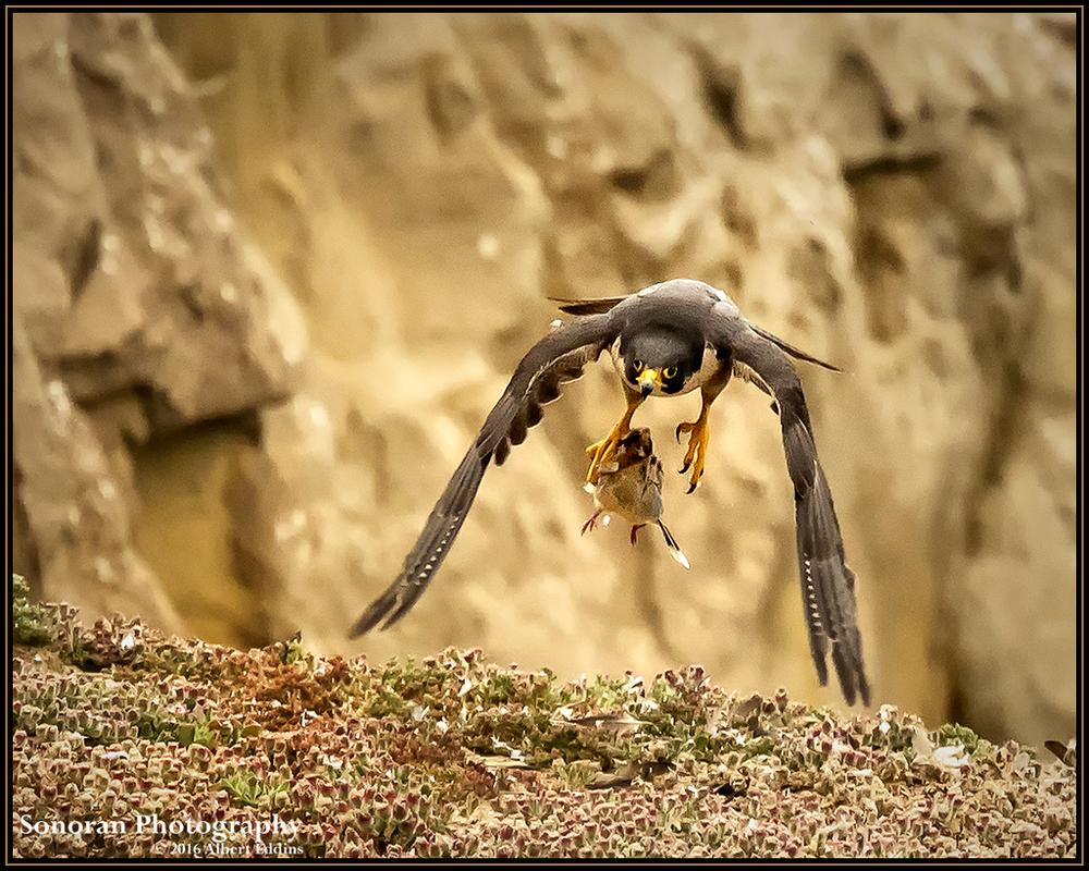 Peregrine Falcon - A Bird of Prey - California
