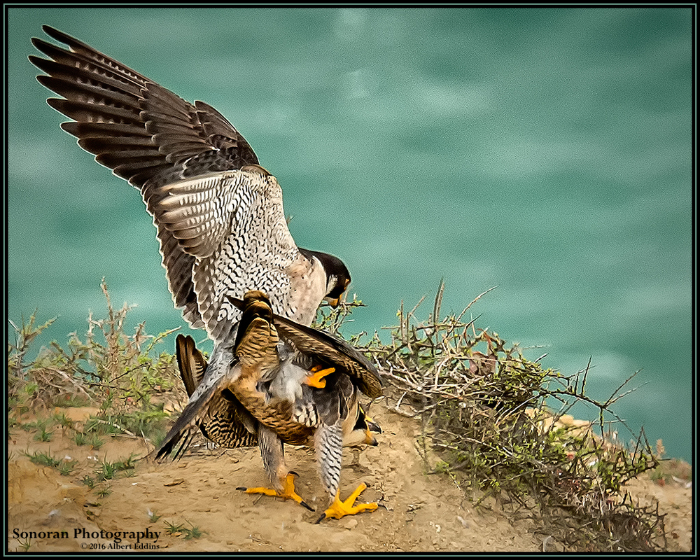 Love Peregrine Falcon Style - California
