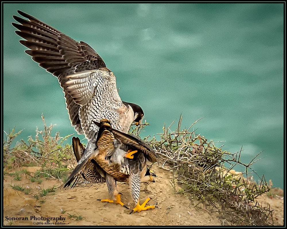 Love Peregrine Falcon Style - California