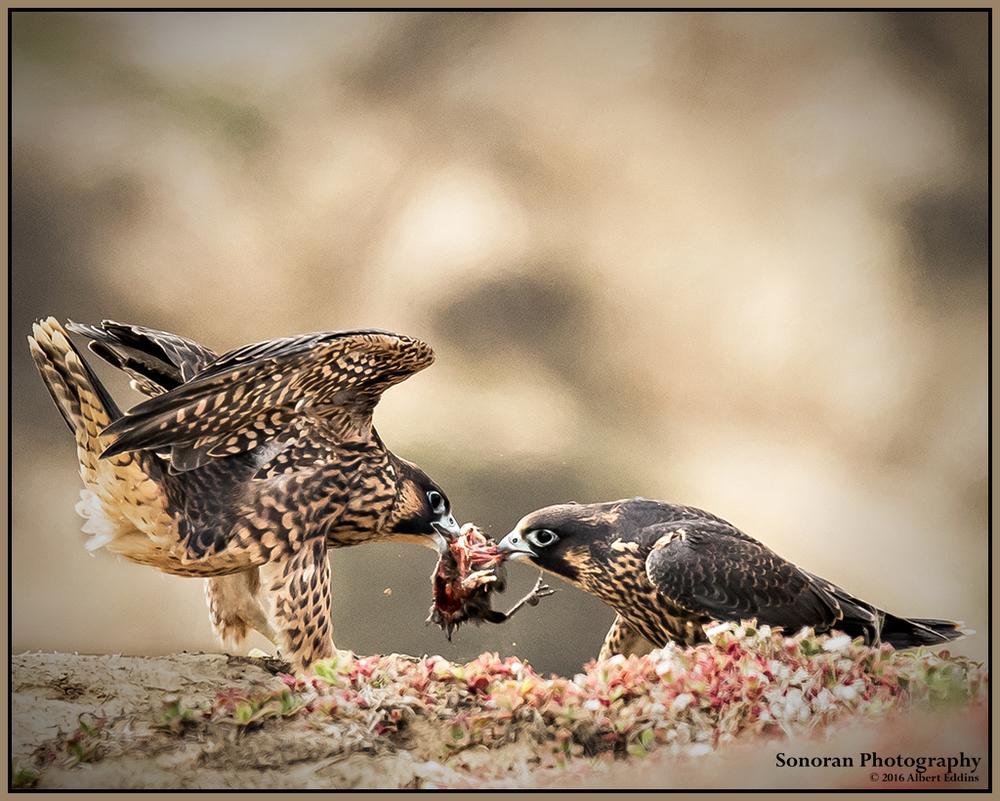Juvenile Peregrine Falcons Playing Tug of War - California