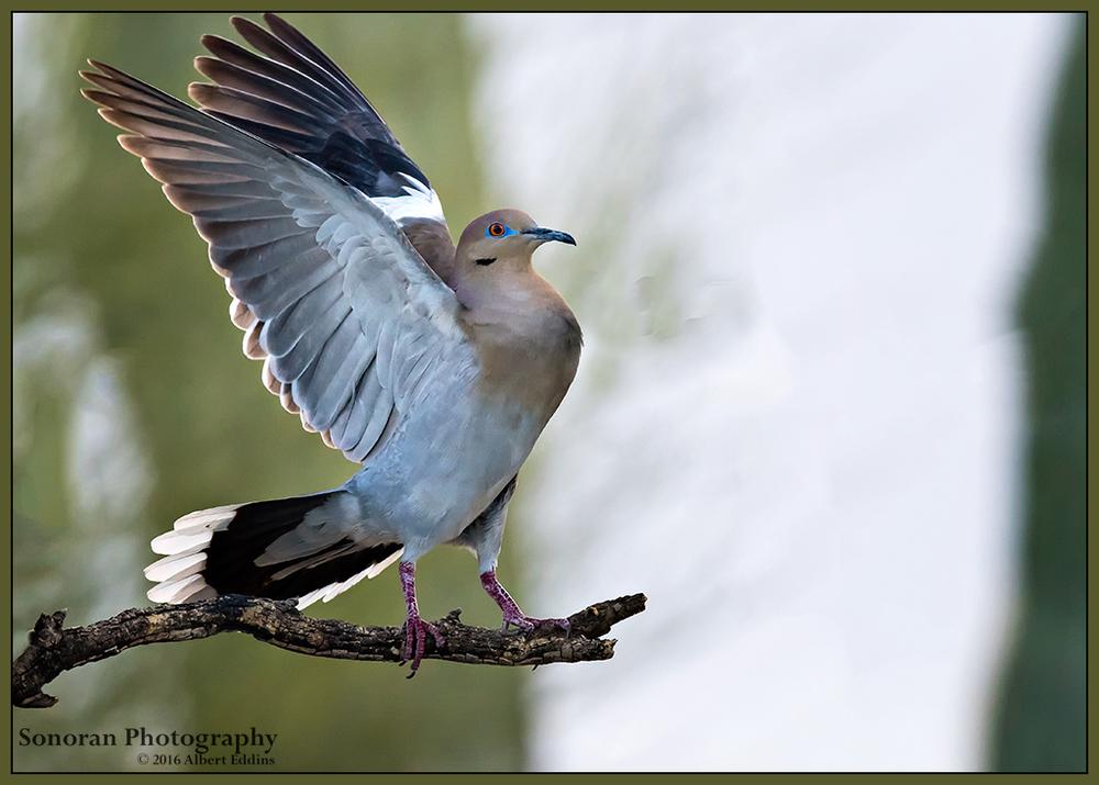 Whitewing Dove - Arizona