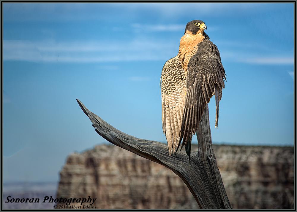 5-Star-Peregrine-Falcon-on-Dead-Branch_Web_ASE1361.jpg
