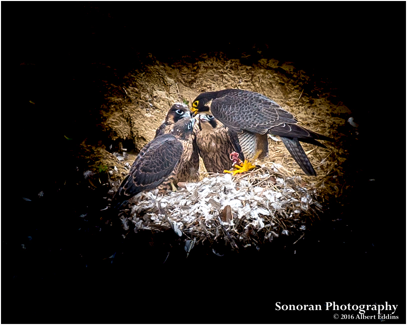 Peregrine Falcon Home Schooling At It's Best- California