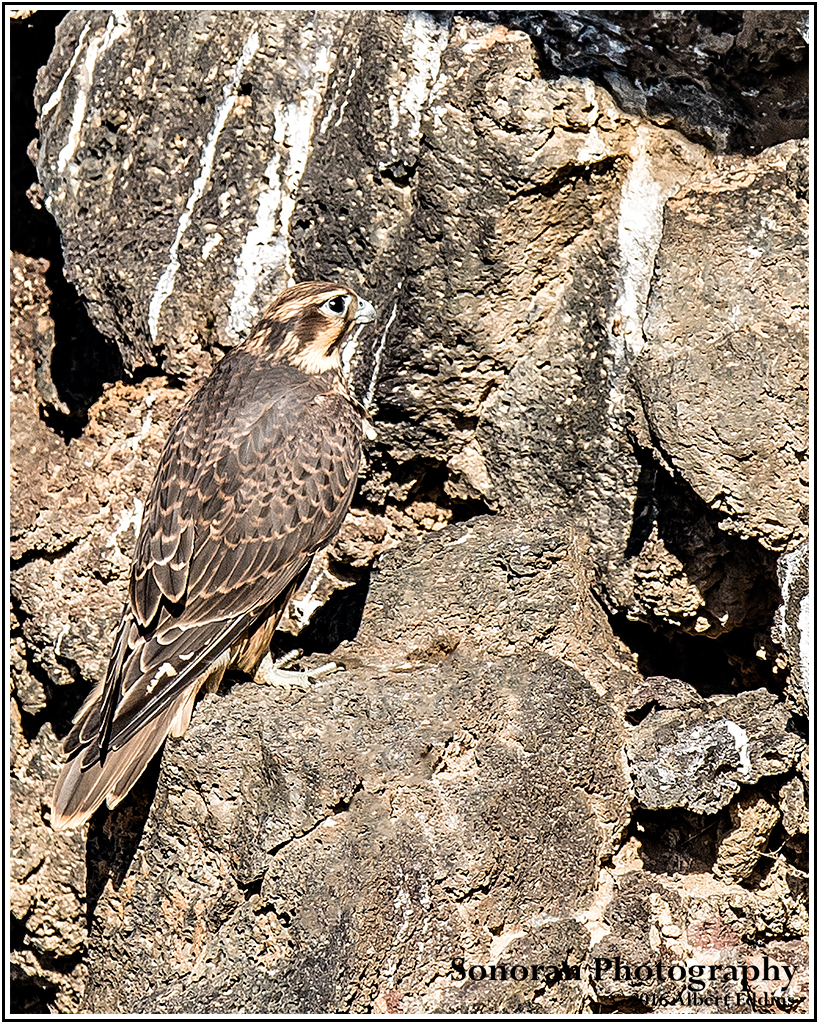 Prairie-Falcon_Lost-in-its-Envronment_Web_ASE6703_6-16-16.jpg