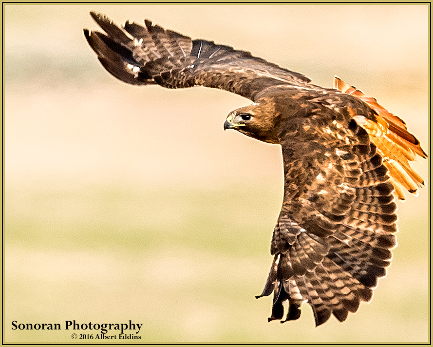 Redtail Hawk - Idaho
