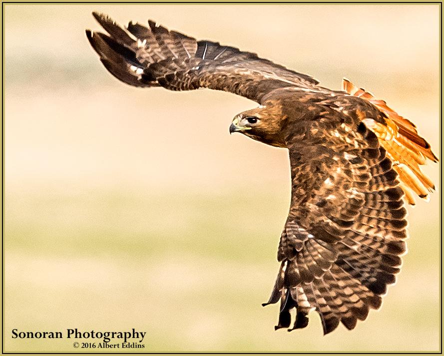 Redtail Hawk - Idaho