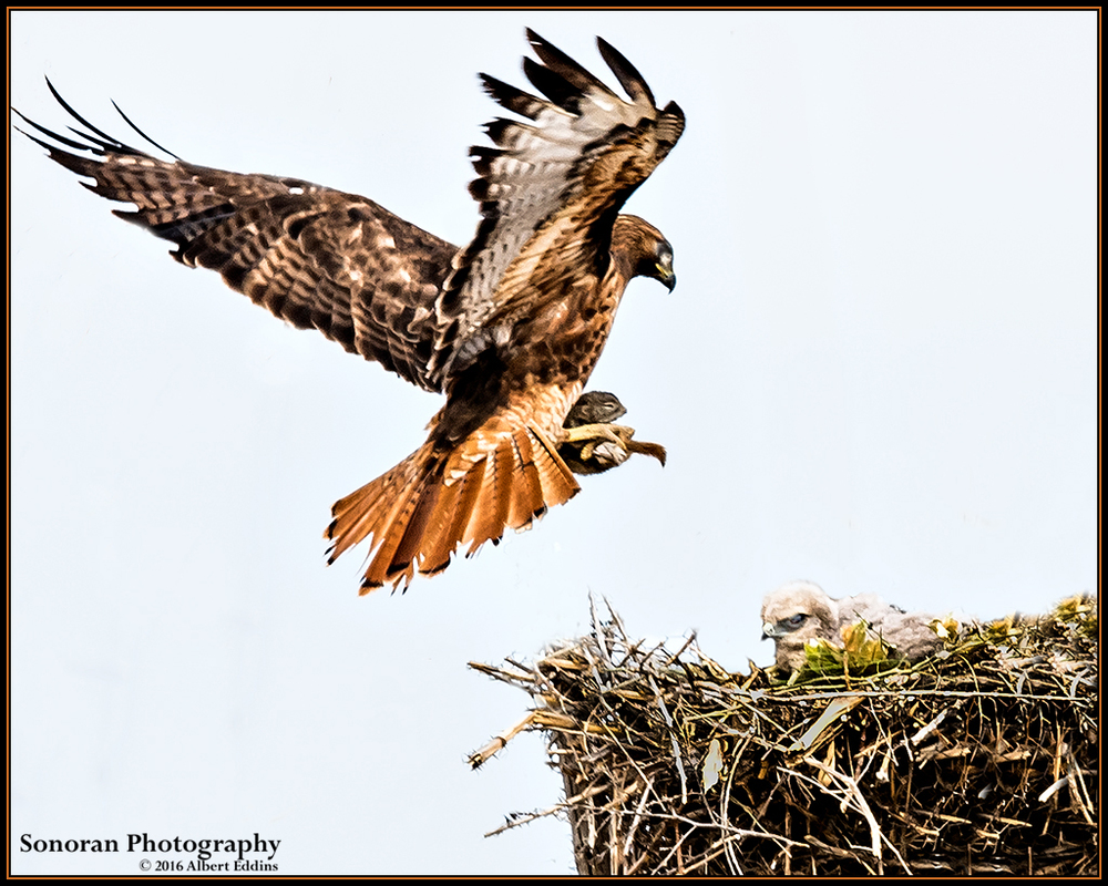 Redtail Hawk - Look! A New Playmate - Idaho