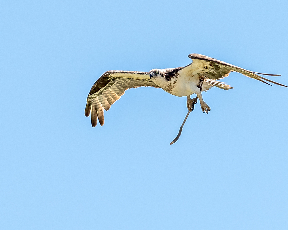 Osprey Going to Play Golf - Wyoming