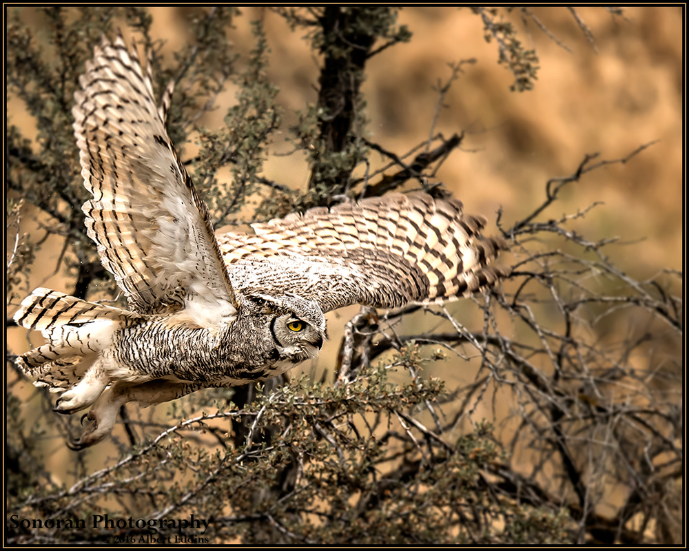 Great Horned Owl_Web_ASE6169.jpg