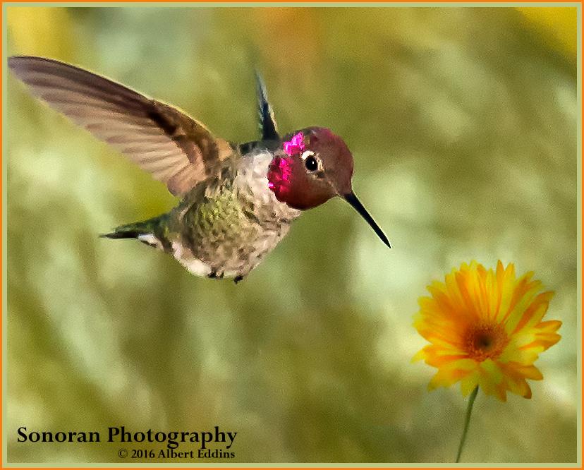 Hummingbird-Yellow-and-Orange_Web_ASE0362.jpg