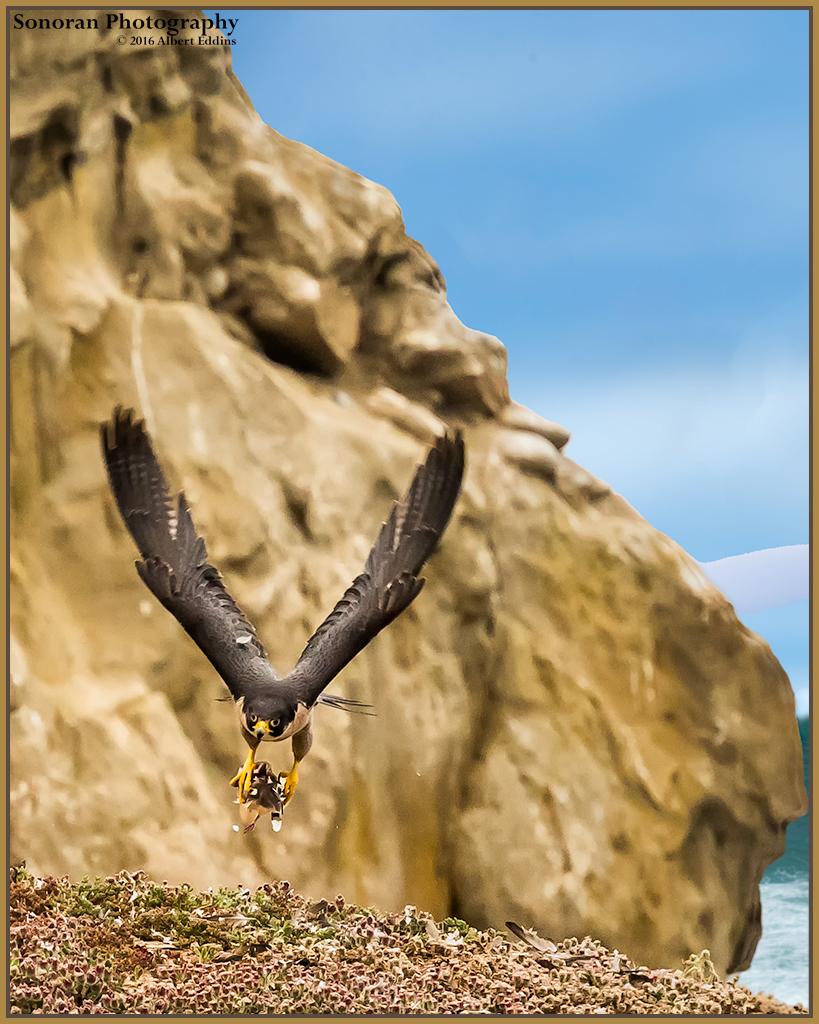 Peregrine-Falcon_Web_ASE9077 - Copy.jpg