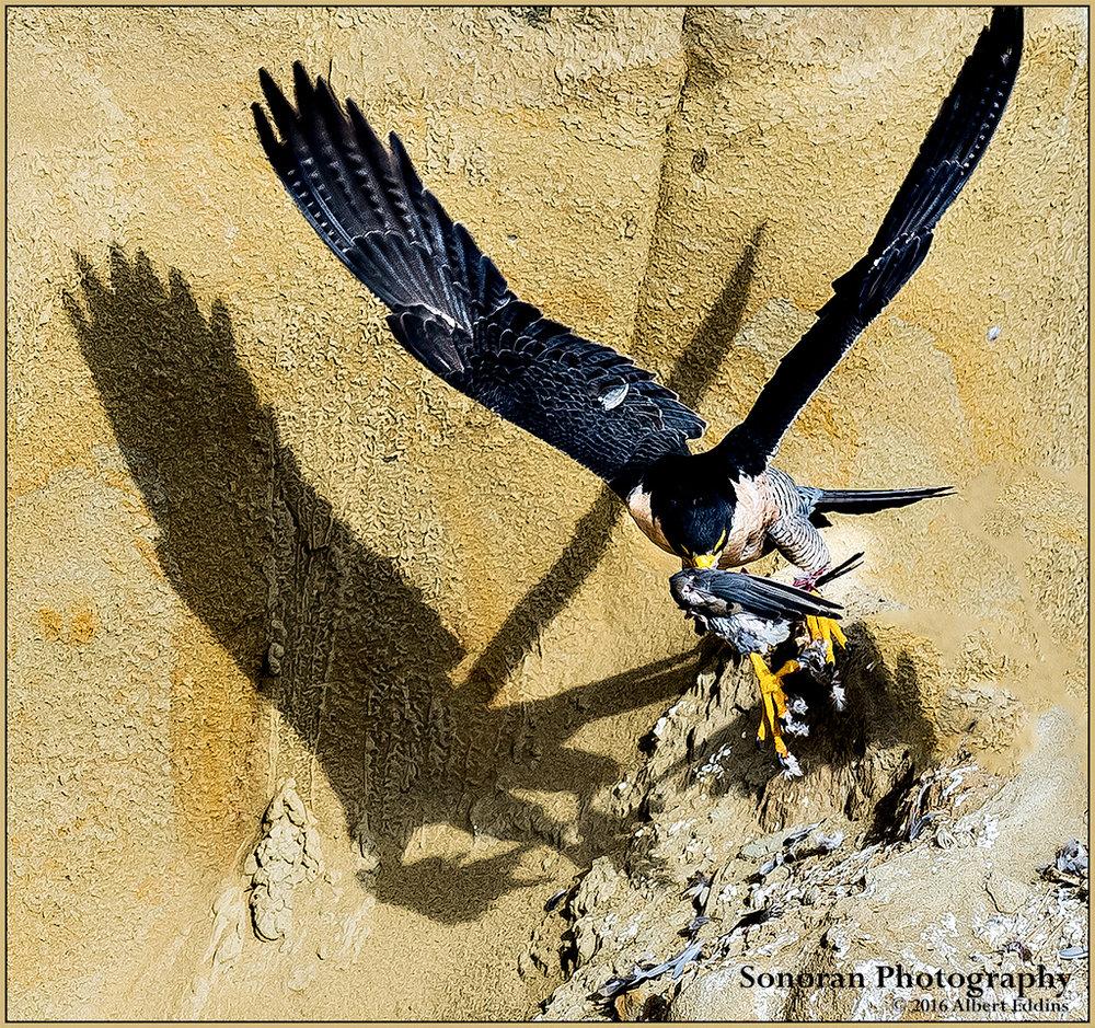 Peregrine-Falcon_Shadows-On-The-Wall_Web_ASE5427.jpg
