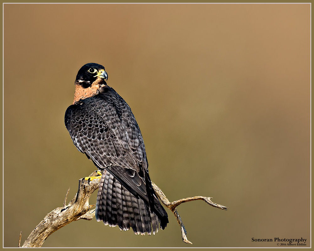 Peregrine-On-Branch_Web_ASE1030_11-20-14.jpg