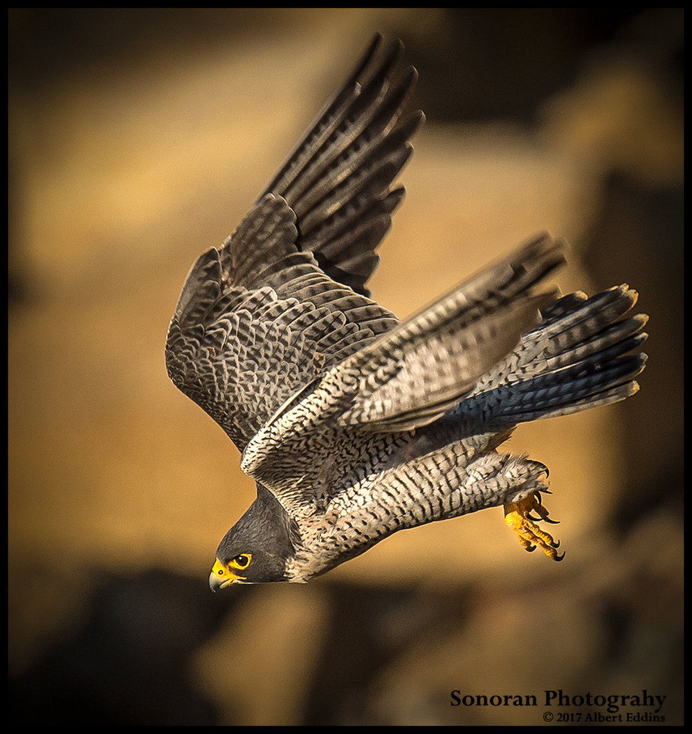 Peregrine-Falcon-on-Hunt_Web_ASE1629.jpg