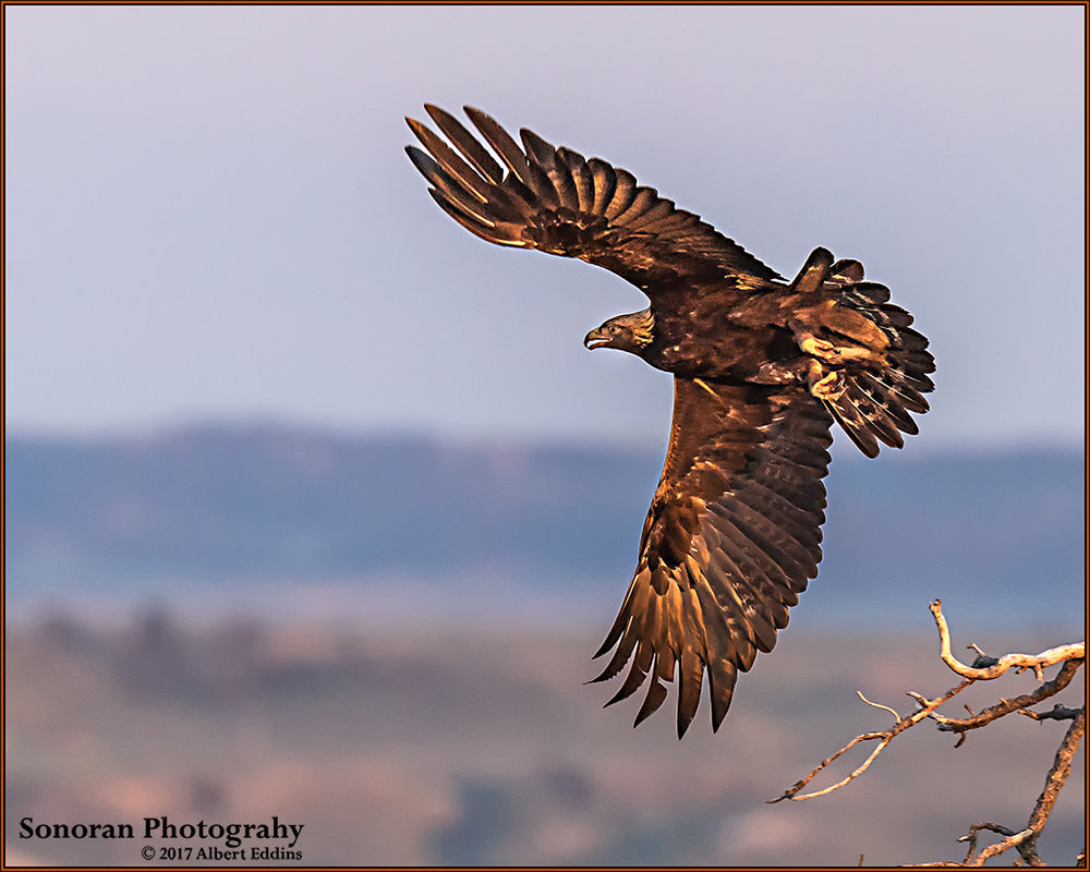 Golden Eagle - Lusk, Wyoming