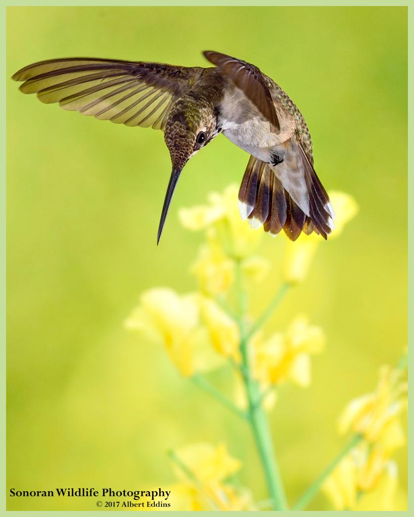 Hummingbird-in-Yellow_Web_ASE3987_8-20-17.jpg