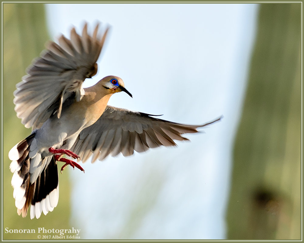White-Wing-Dove_Web_ASE2462.jpg