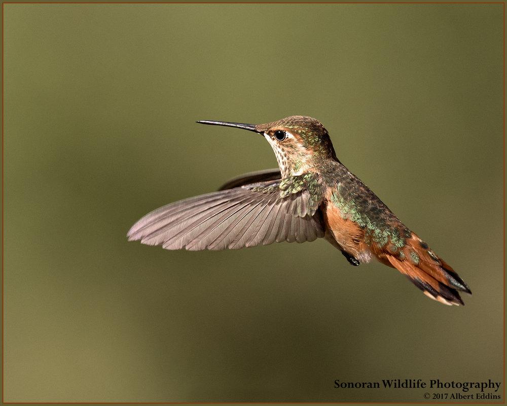 Hummingbird - Sedona, Arizona