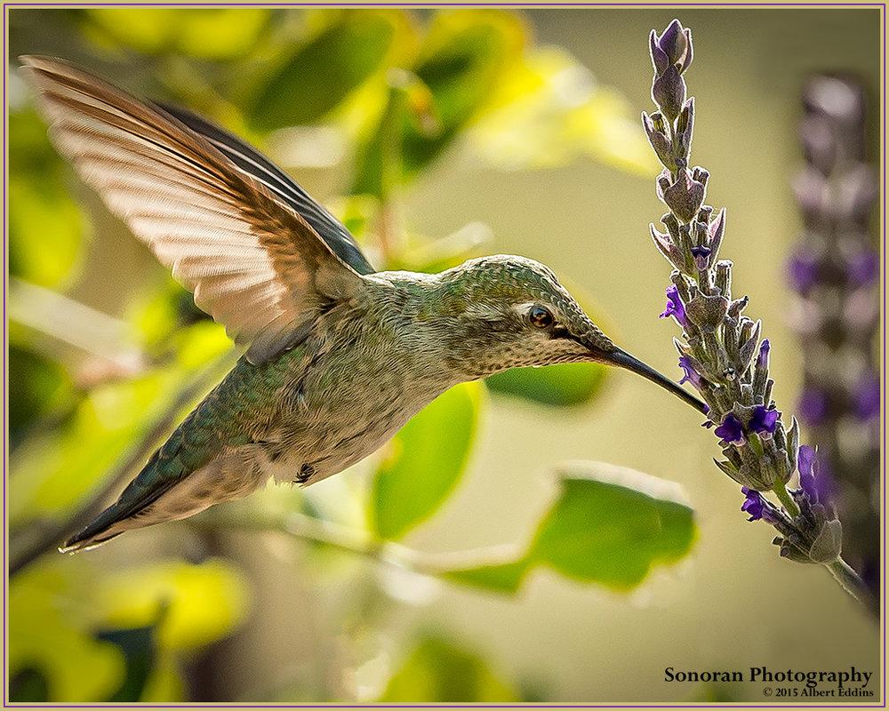Hummingbird_Web_ASE0048.jpg