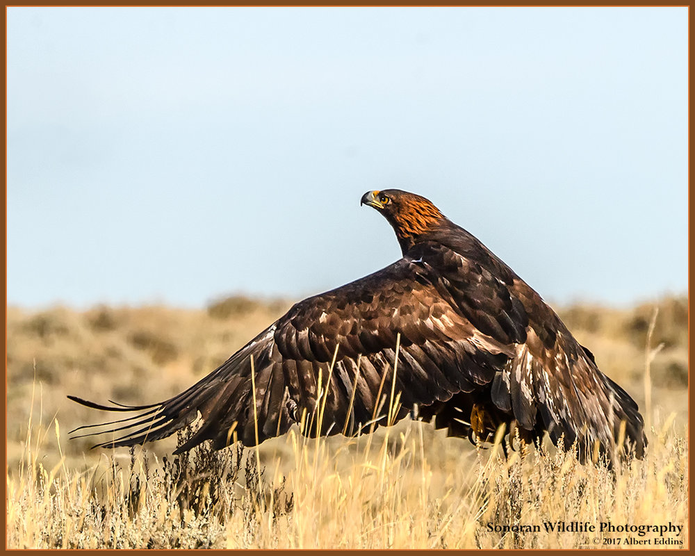 Golden Eagle Lift Off - Wyoming
