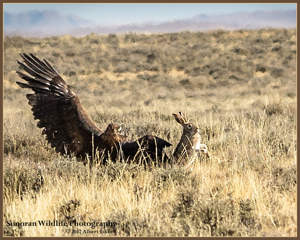 Golden Eagle Missed - Farson, Wyoming